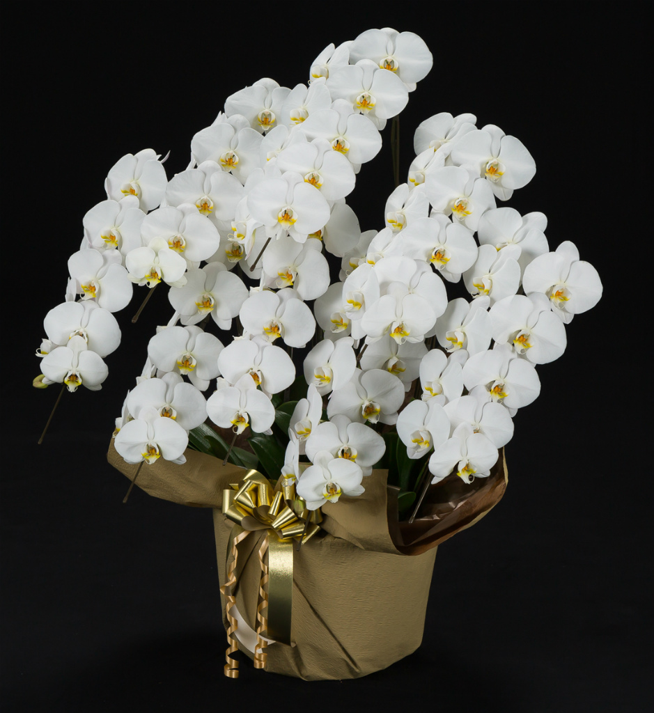 胡蝶蘭8本立 白