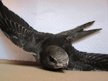 Птенец чёрного стрижа  по имени Чир
