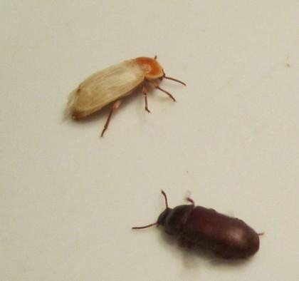 Большой мучной хрущак-жуки