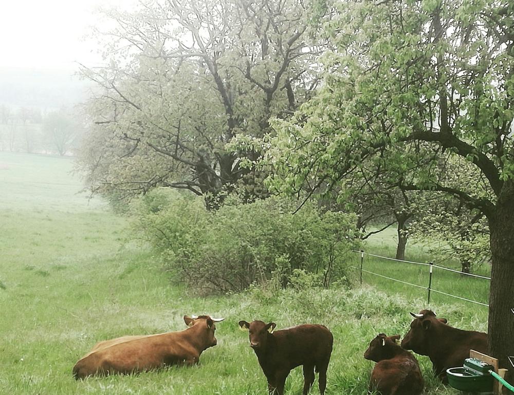Die Rinder genießen die Weidesaison, welche wir so lang wie möglich nutzen!
