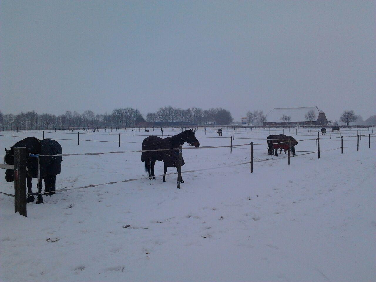 Maar ook als er sneeuw ligt, gaan de paarden (een paar uurtjes) naar buiten.