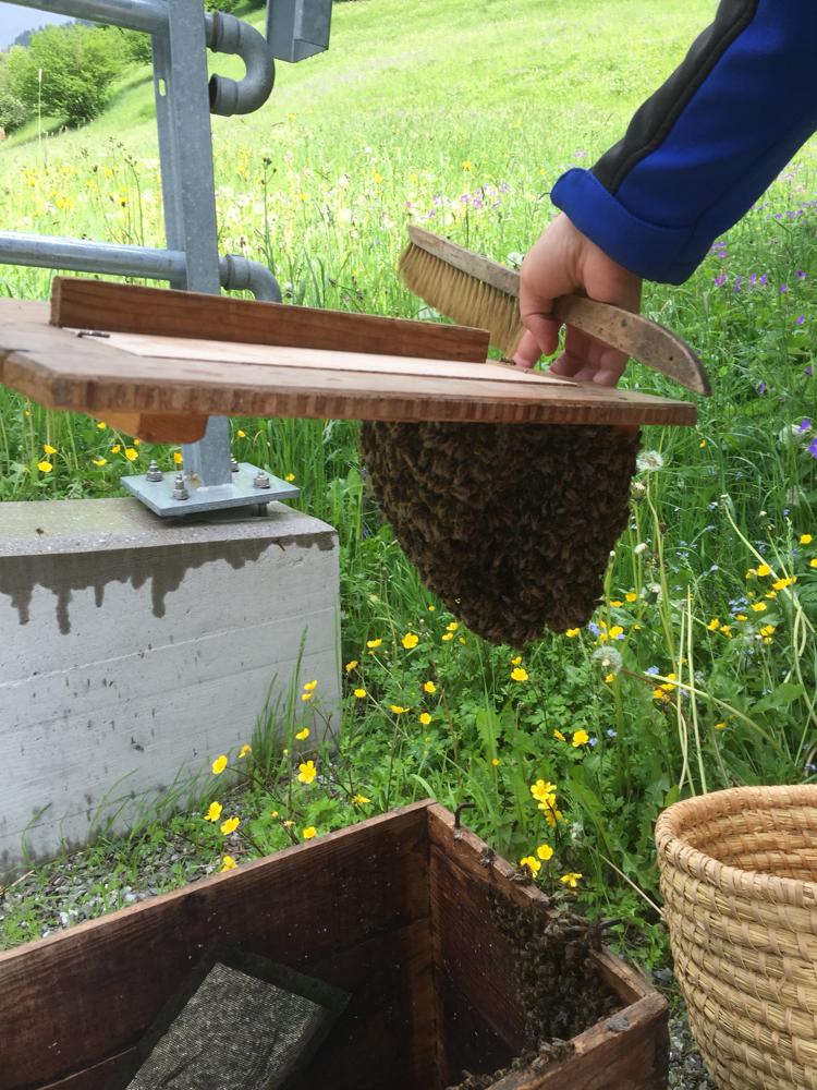 Bienenschwarm wird aus der Schwamrkiste geholt