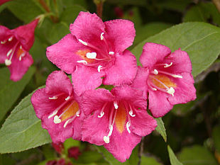 Wegelia dispo en rose, rouge
