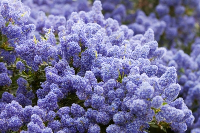 Céanothe persistant impressus puget blue