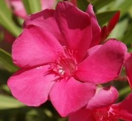 Framboise (rose vif framboise -12°)