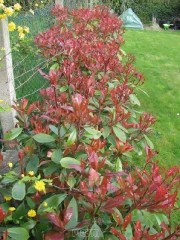 Photinia red robin printemps
