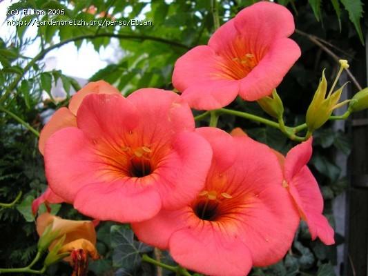 Bignone à grande fleur