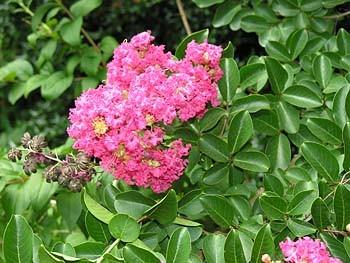 Lagerstroemia Indica Arbre Arbuste, autre coloris arbustifs dispo