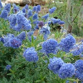 Céanothe Bleu intense Persistant