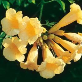 Bignone jaune