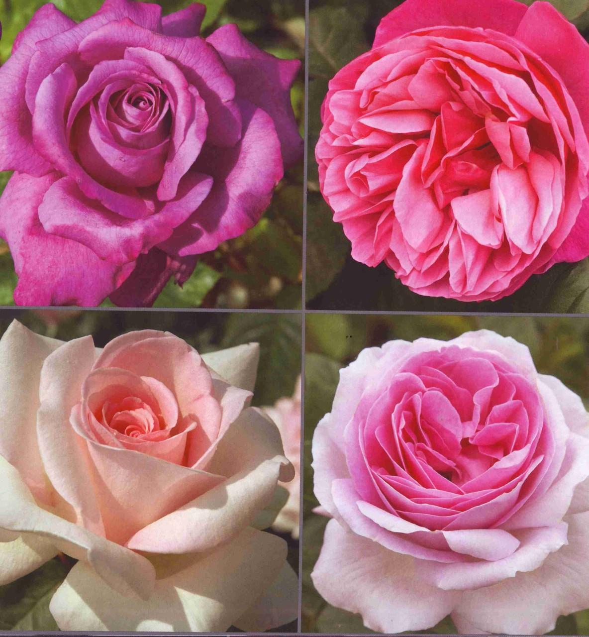 C.Brasseur / L.Renaud / Prince Jardinier / Pink Eureka