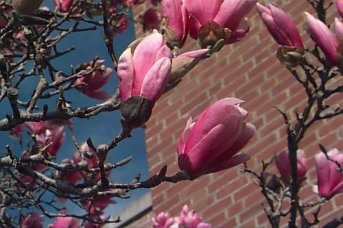 Magnolia Soulangiana, arbre, arbuste caduque autres coloris dispo tons rouge/rose