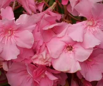 Cavalaire (rose triple parfumé -15°)