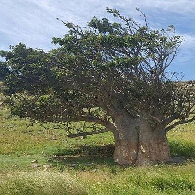 Baobab Baum auf Boavista