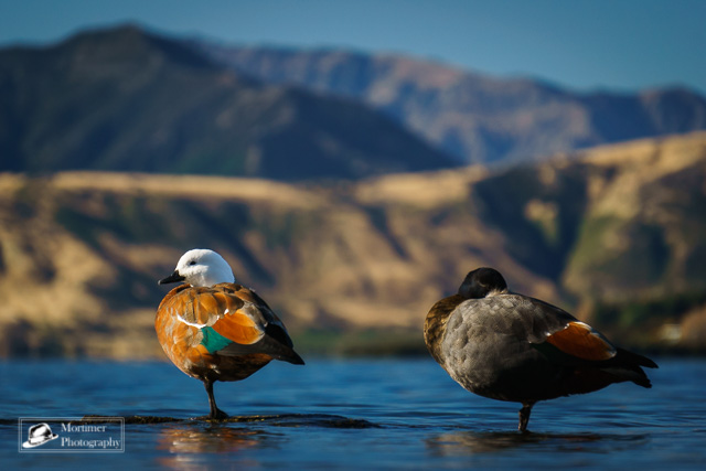 colorful paradise ducks at the lake in front of the mountains