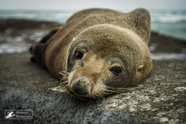 Portrait eines Seehund sehr nahe