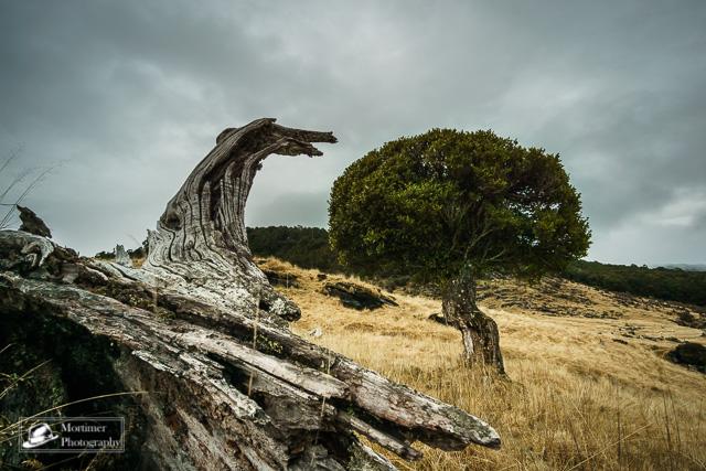 Einsamer Baum mit sonderbar runder Form im kargen Grasland