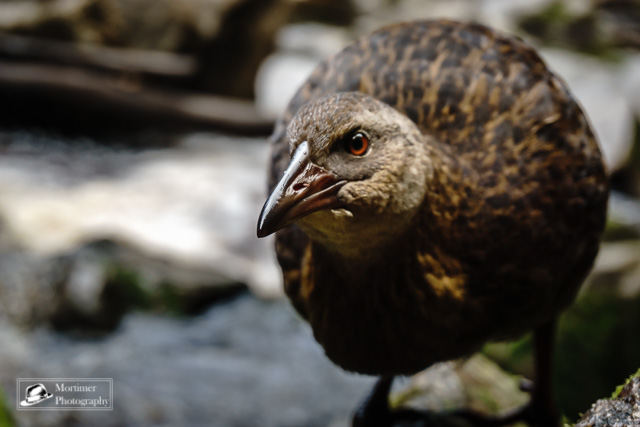 Portrait of a Weka very close
