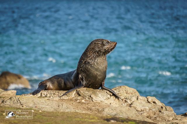 Seehund in der Sonne vor dem blauen Meer