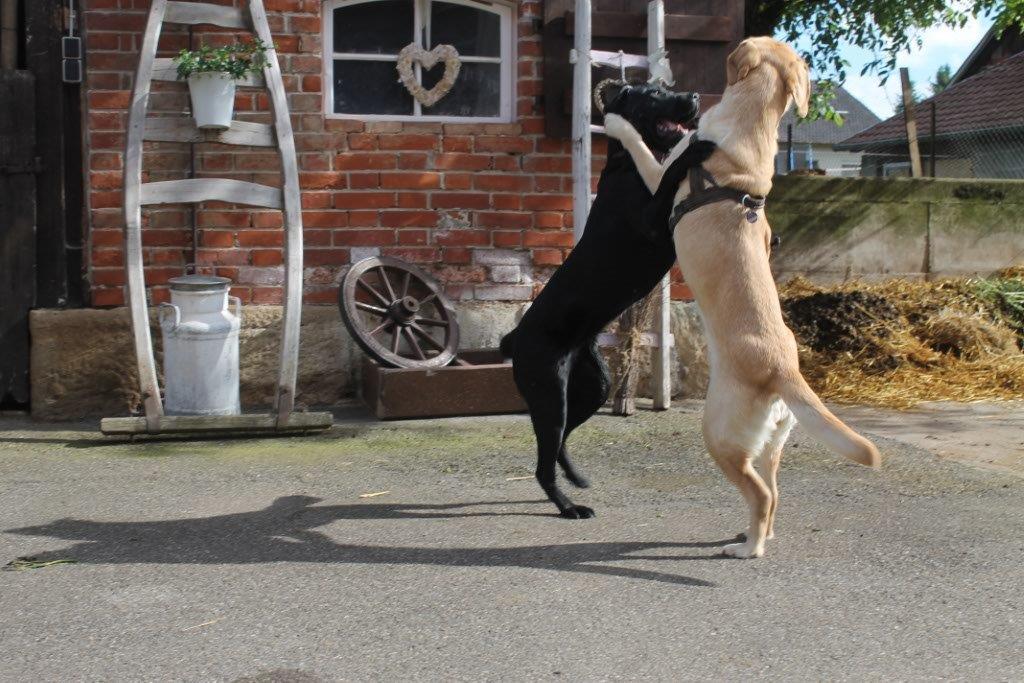 Unsere Bonnie mit Gasthund Amira beim Spielen