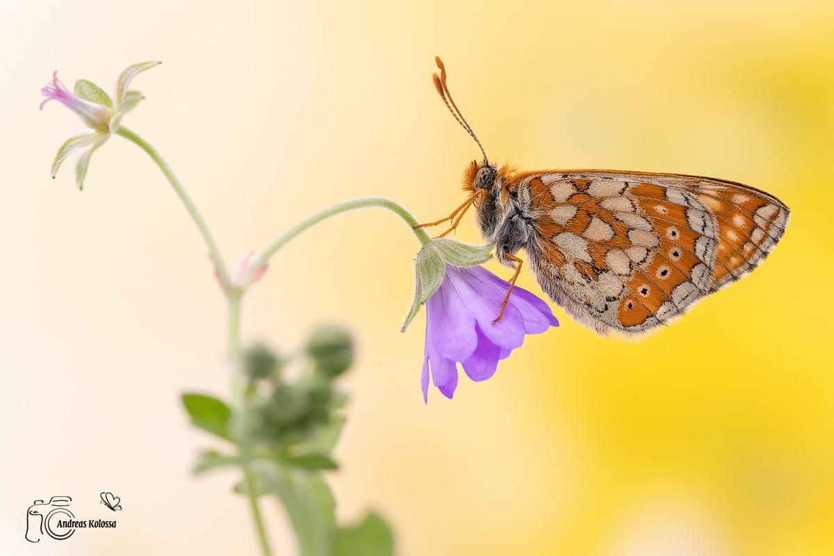 Schmetterlingszauber der Eifel 5.0