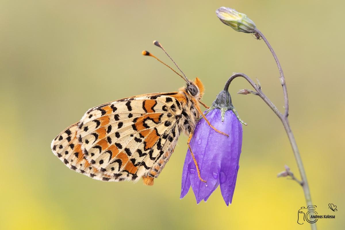 Schmetterlingzauber der Rhön 4.0
