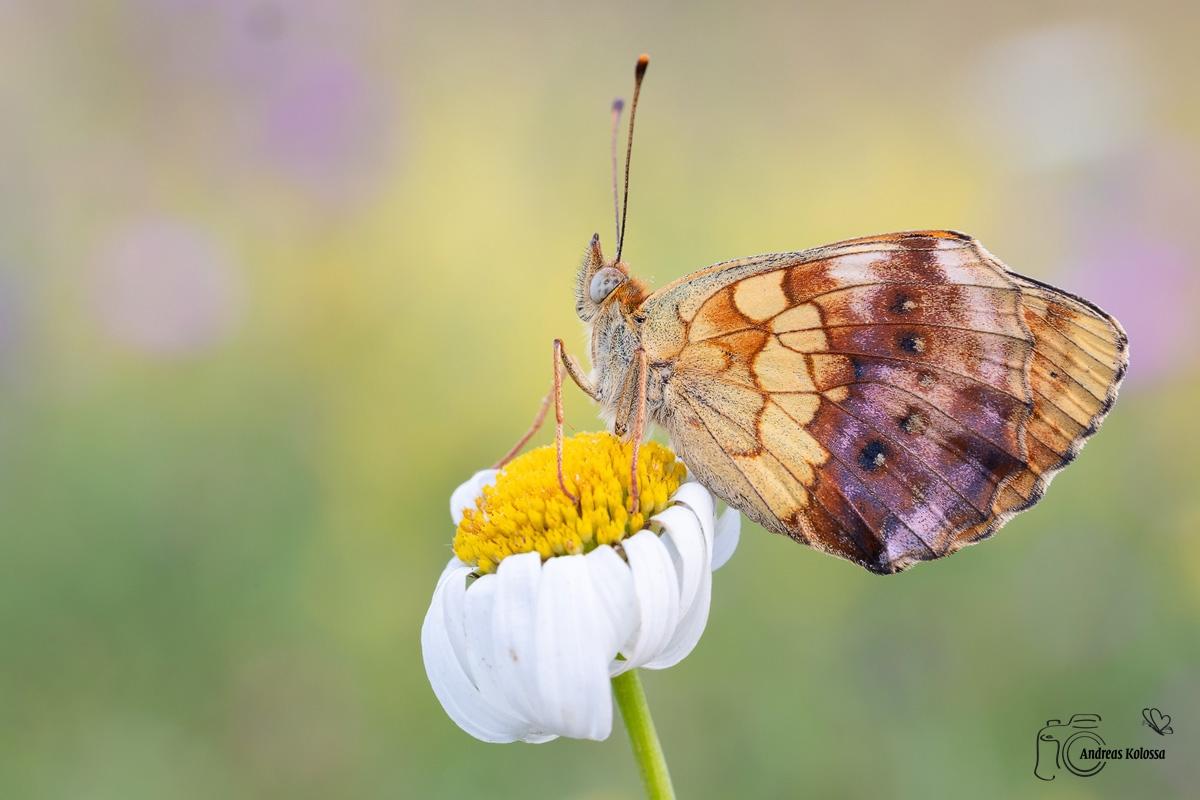 Schmetterlingszauber der Eifel 6.0