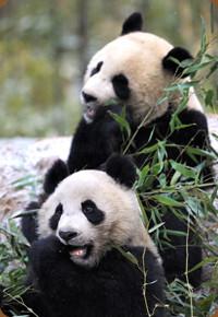 pandas beauval