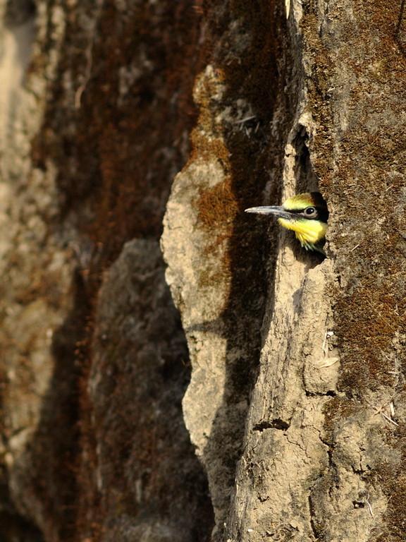 Guêpier d'Europe - Merops apiaster