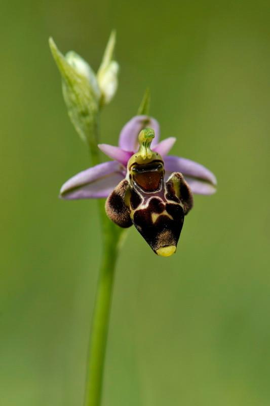 Ophrys scolopax Cav. - Ophrys bécasse - Pamproux (79) -17/05/2012