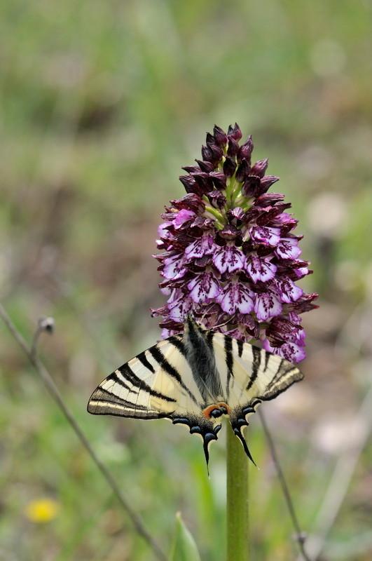 Orchis purpurea Huds. - Orchis pourpre avec Flambé - Iphiclides podalirius - Provence - 01/05/2012