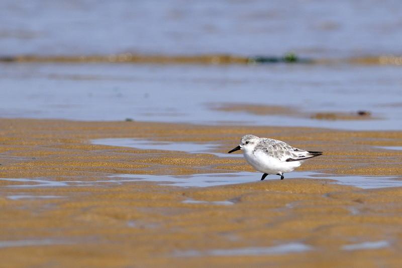 Bécasseau  sanderling - Calidris alba