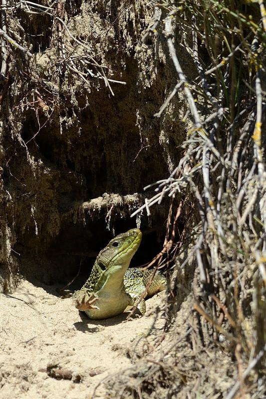 Lézard ocellé ♀ - Ile d'Oléron (17) - 14 avril 2014
