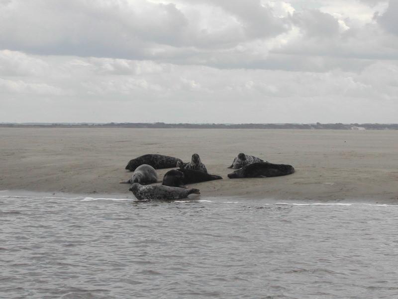Phoque en Baie d'Authie