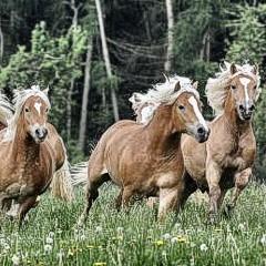 Pferde Haflingergestüt Darrehof
