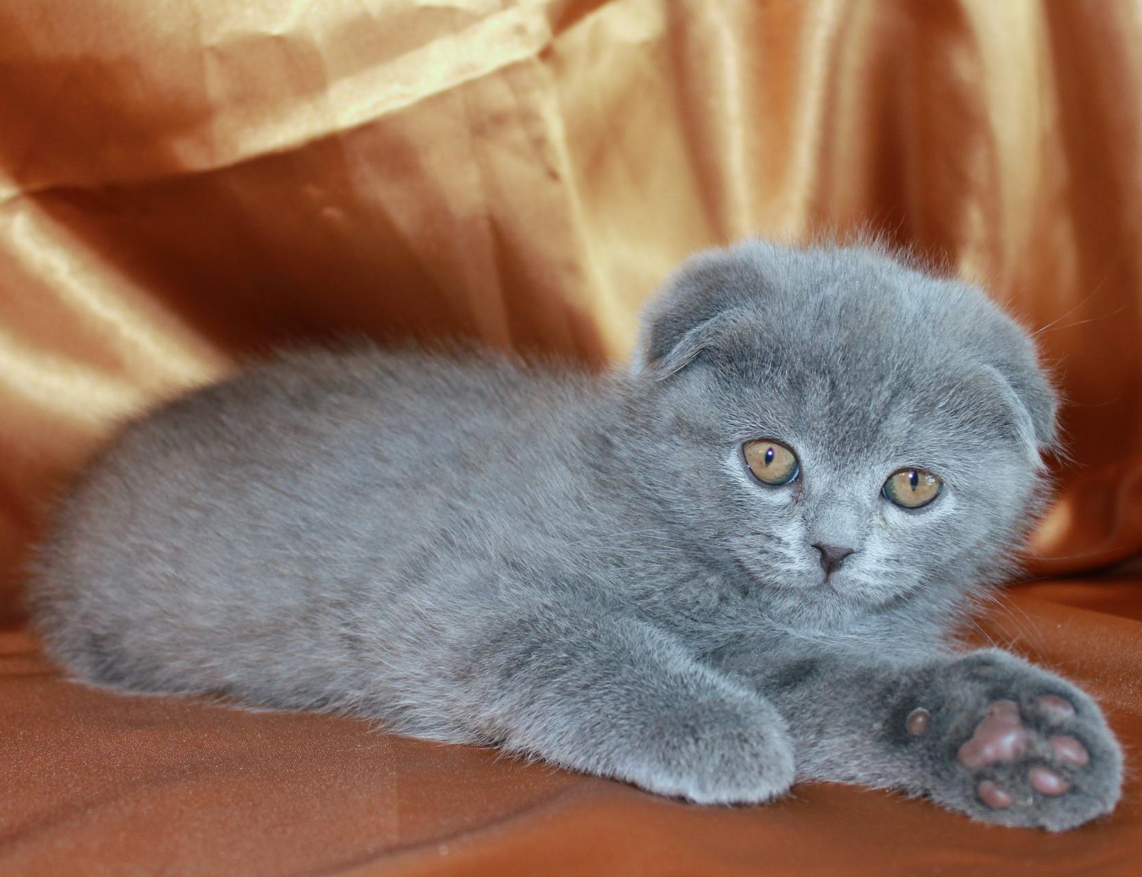 Кошка скоттиш фолд Диана 2 месяца