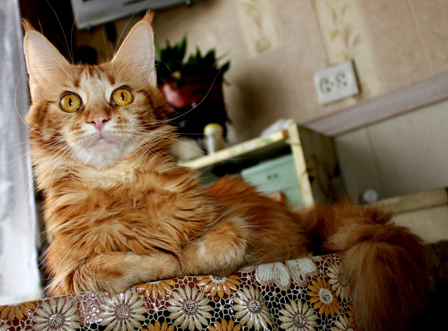 """Кошка мейн кун Клара 1 год из питомника """"ПУТЬ ВЕЛИКОЙ КОРОЛЕВЫ"""""""
