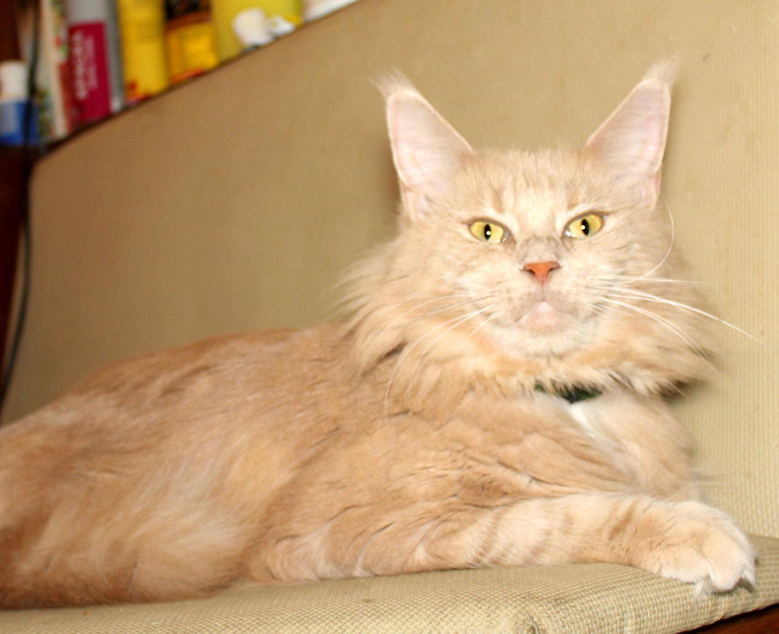 Кошка мейн кун Бэлла 4 года