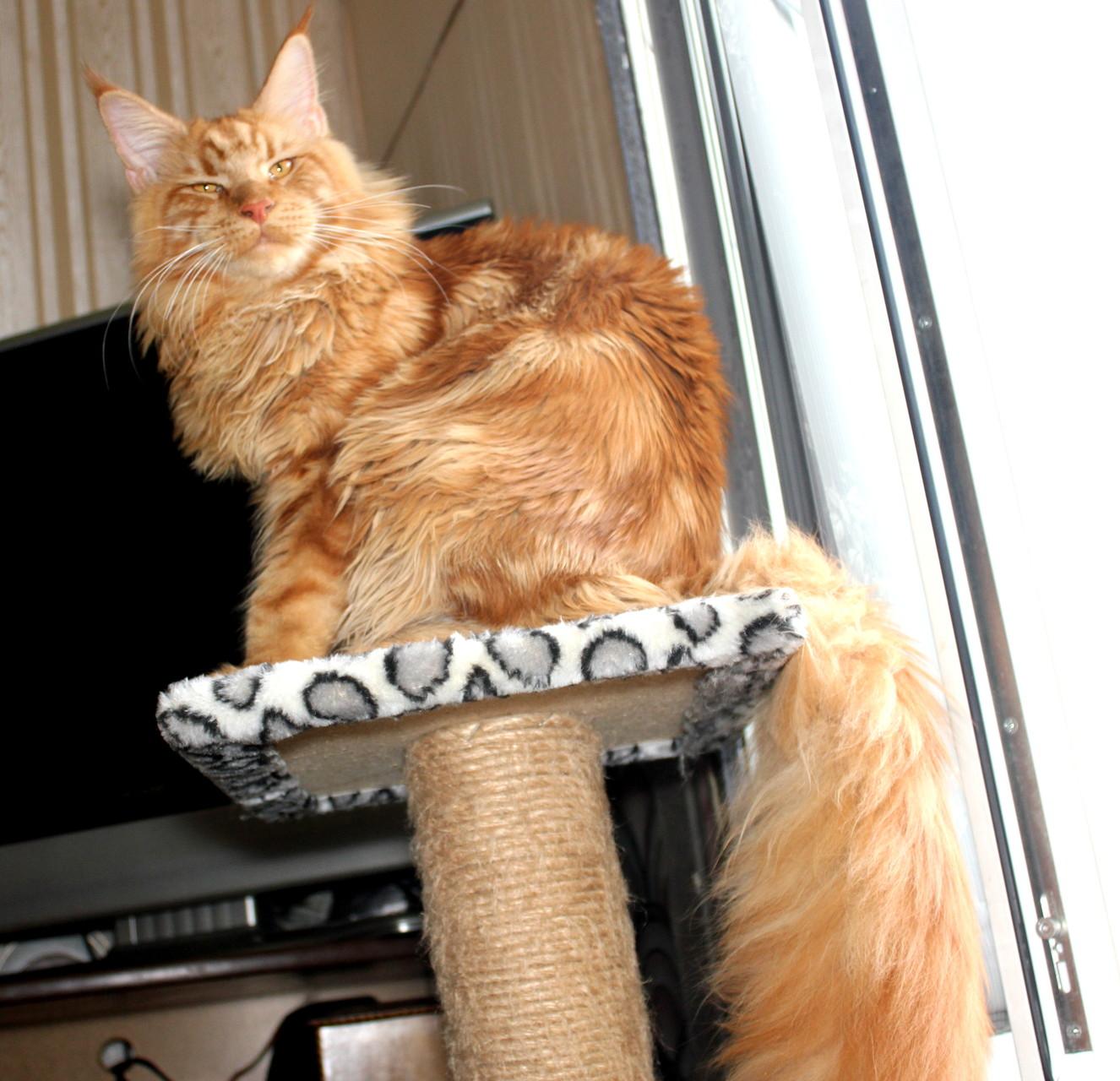 Кот мейн кун Тигр 8 месяцев