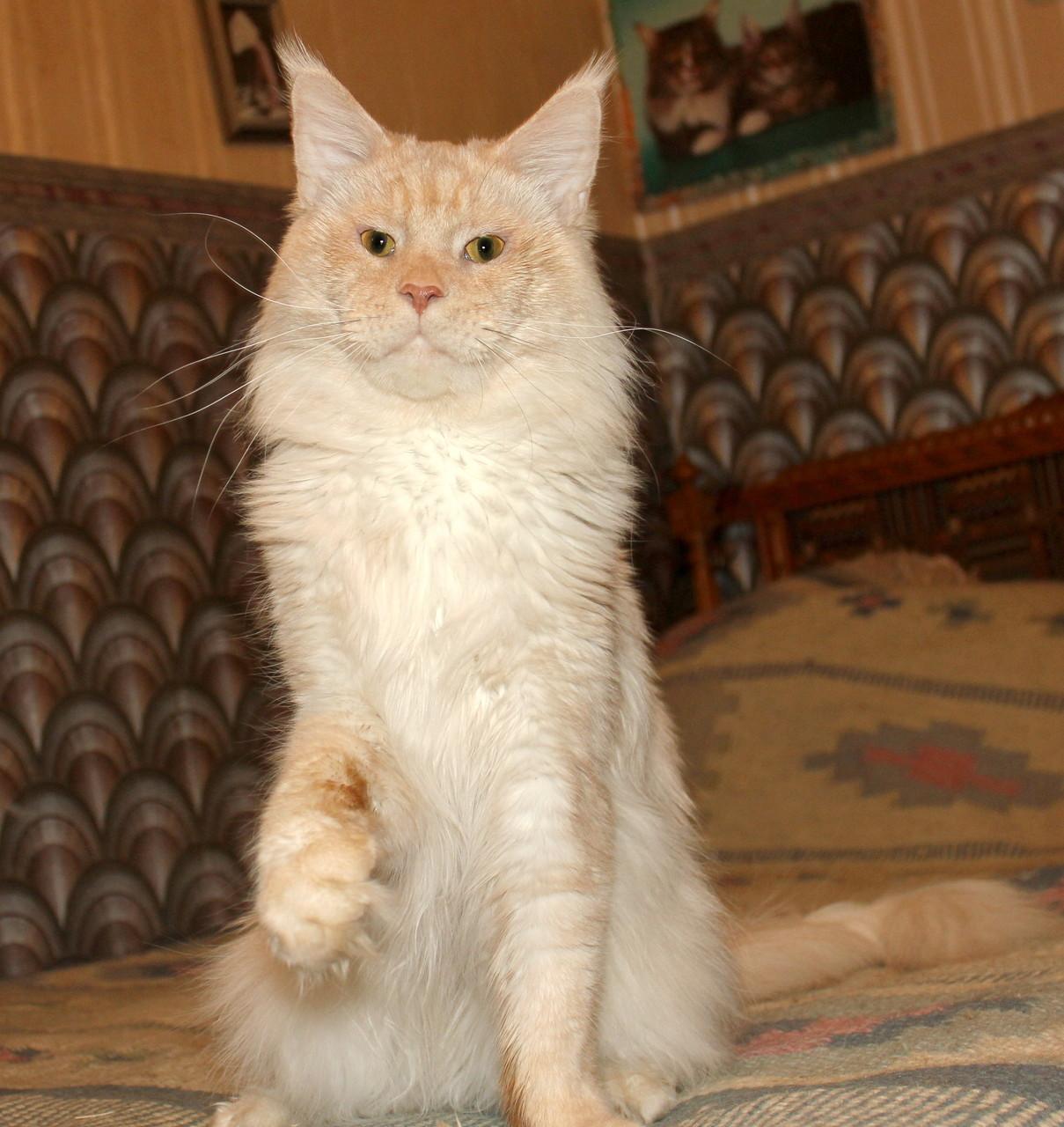 Кот мейн кун Батя 1,5 года