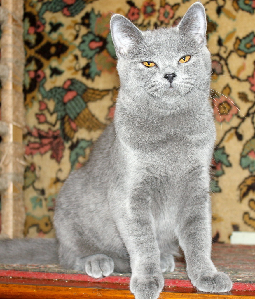 Кошка скоттиш страйт Юлька 9 месяцев