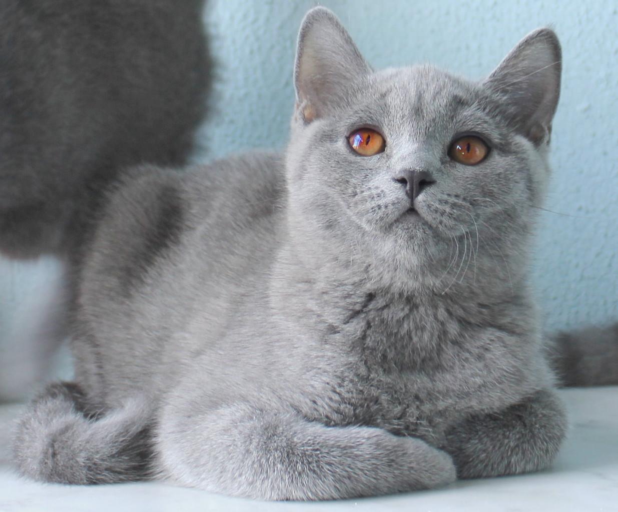 Кошка скоттиш страйт Юлька 6 месяцев