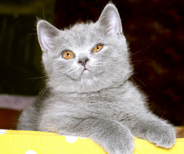 Кошка скоттиш страйт Юлька 1,5 месяцев