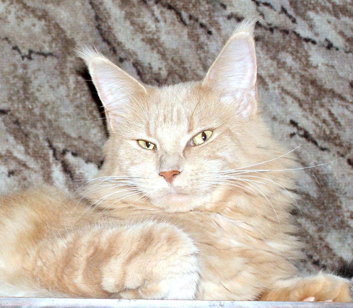 Кошка мейн кун Бэлла 3 года