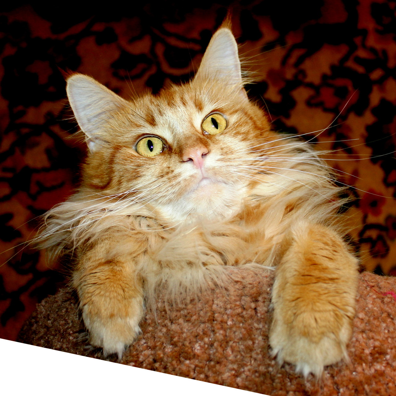 Кошка мейн кун Клара 2 года
