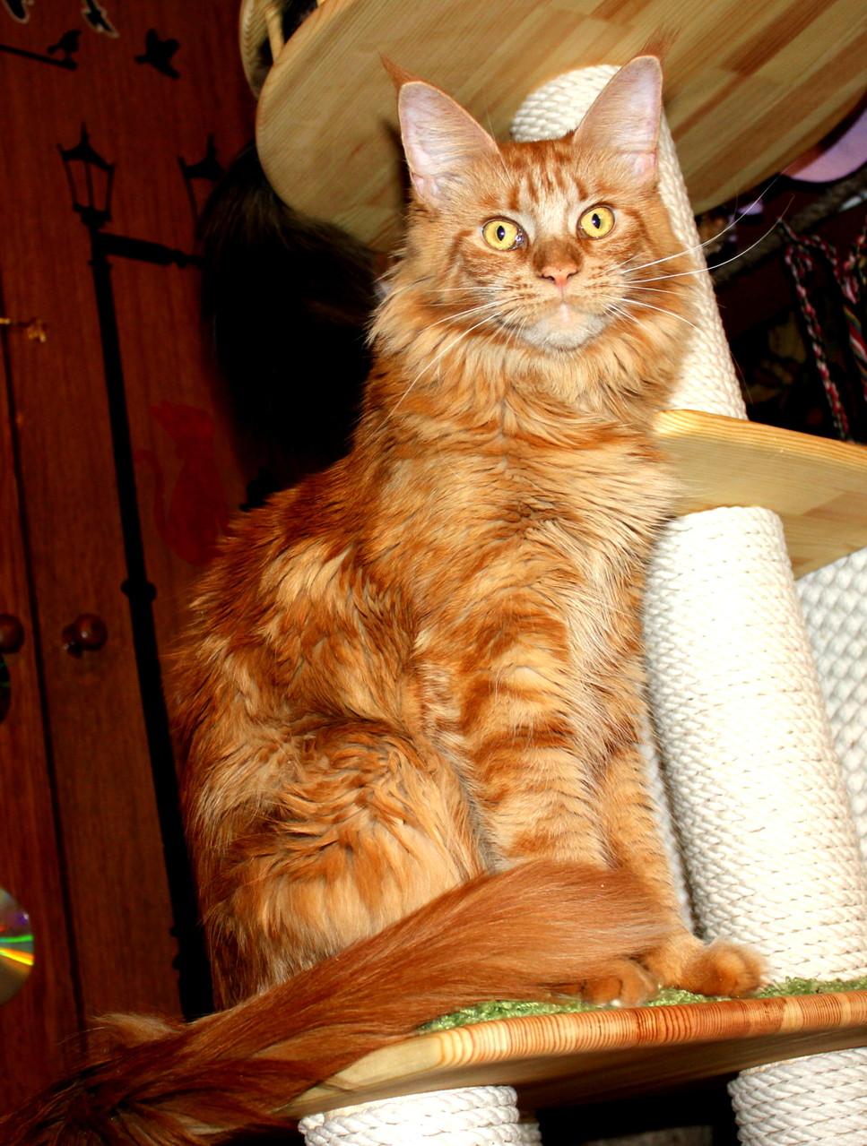 Кошка мейн кун Лиса 1,5 года