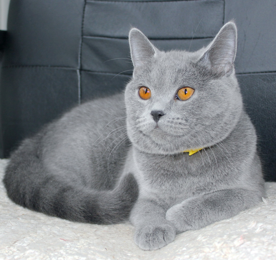 Кошка скоттиш страйт Юлька 11 месяцев
