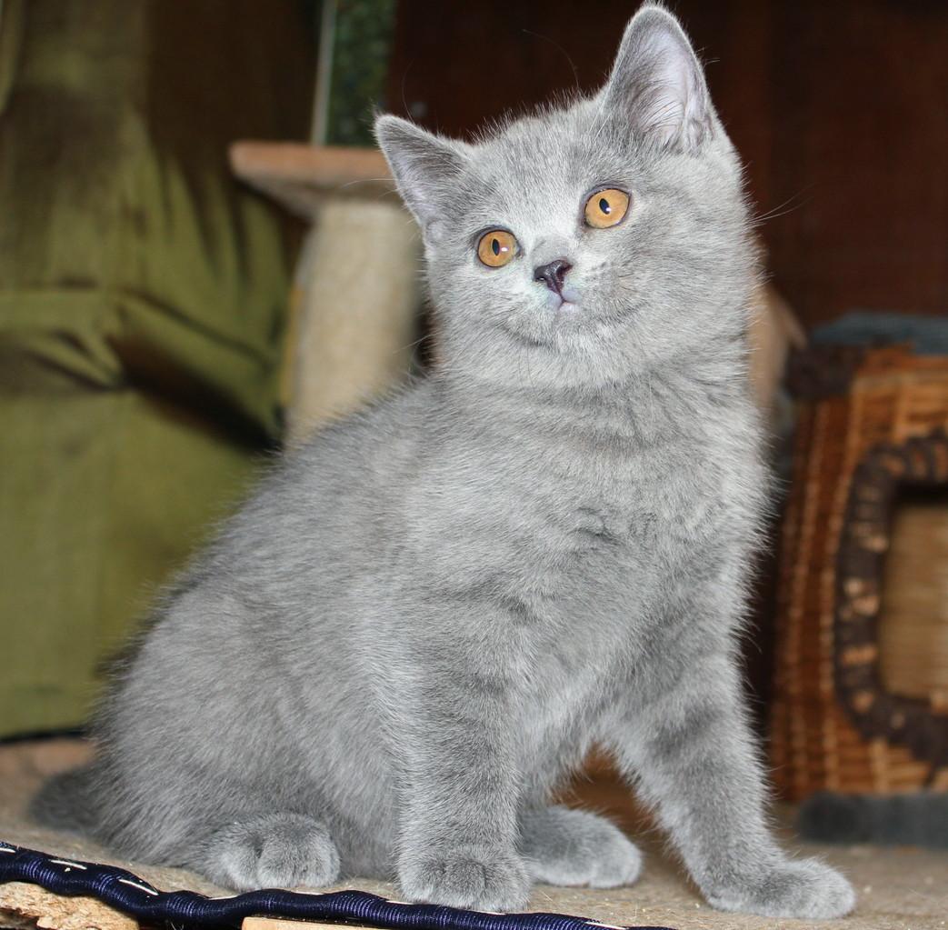 Кошка скоттиш страйт Юлька 3 месяцев