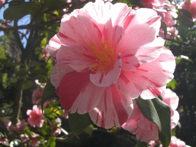 Die Camelienblüte im Frühjahr