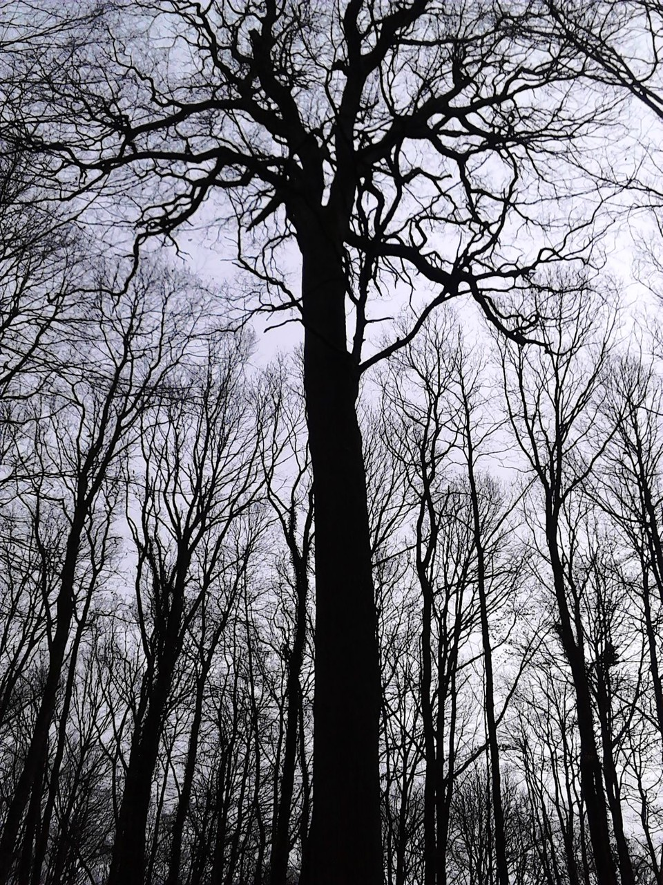 le chêne de l'école 350 ans